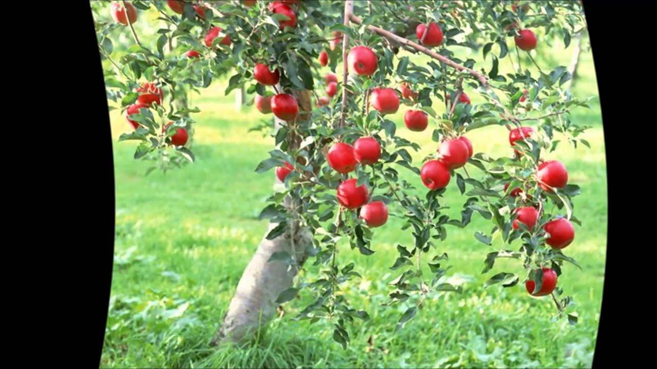 Как вырастить яблоню из семечка в домашних условиях видео 97