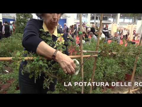 Coltivazione e potatura delle rose rampicanti for Potatura delle rose