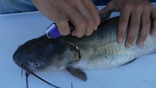 How To: Skin and Fillet a Catfish Like a Pro - Best Tools Needed