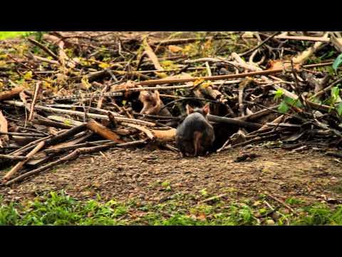 La plácida vida de las vizcachas