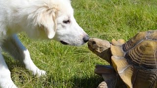 Tortoises chasing cats and dogs - Funny animal compilation