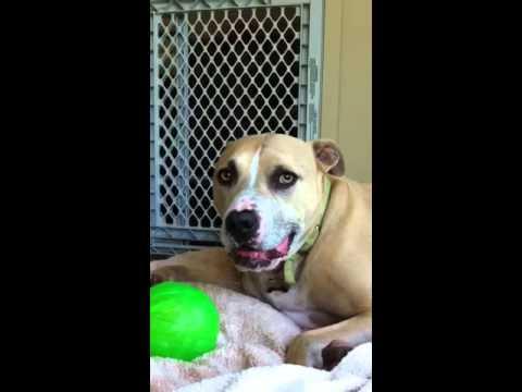 Blue the Pitbull yawns on command