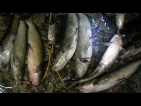 Bait Fishing #82 - Channel Catfish Night Fishing with Cut Bait