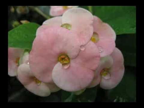 Natural Remedy Warts Euphorbia
