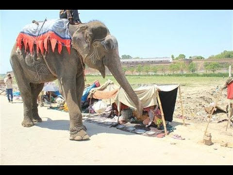 Raju The Elephant Cries When Rescued – AMAZING STORY!!!