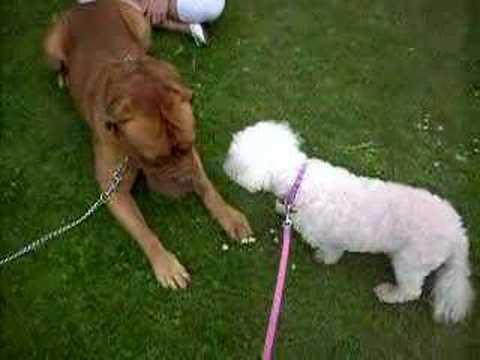 dogue de bordeaux cross pitbull. Laliq meets Dogue de Bordeaux