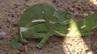 Nature sex tv chameleons in Kruger Simbavati chameleon making small chameleons