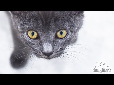 LIVE: The Stan Lee Kittens - TinyKittens.com