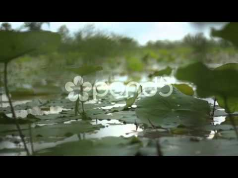 Asian Nature HD Stock Footage: Elegant Close Up Dolly Slide Along Water Lilies In Asia