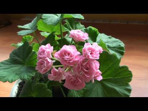 Apple Blossom Rosebud пеларгония на сайте doc-lab.ru