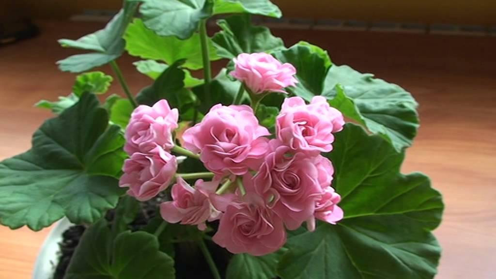 Австралиан пинк розебуд особенности выращивания 1