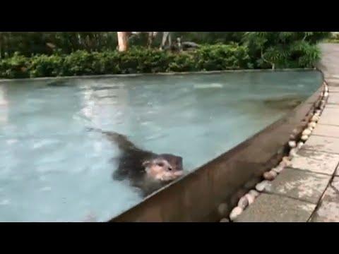 Otter in der Finanzmetropole Singapur