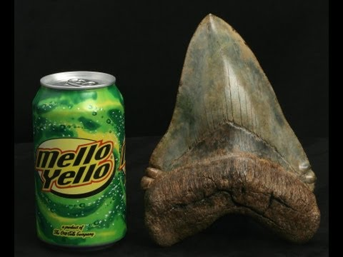 MEGALODON AND GREAT WHITE SHARK EVOLUTION : PART 1 OF 3 - TRANSITIONAL FOSSIL SHARK TEETH