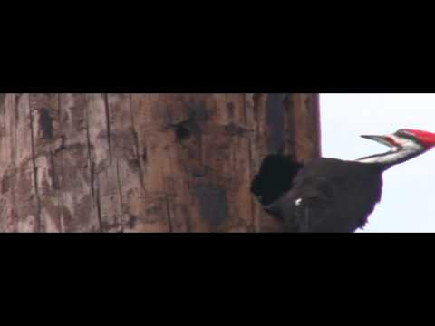 IVORY BILLED WOODPECKER FILMED IN SANFORD FLORIDA