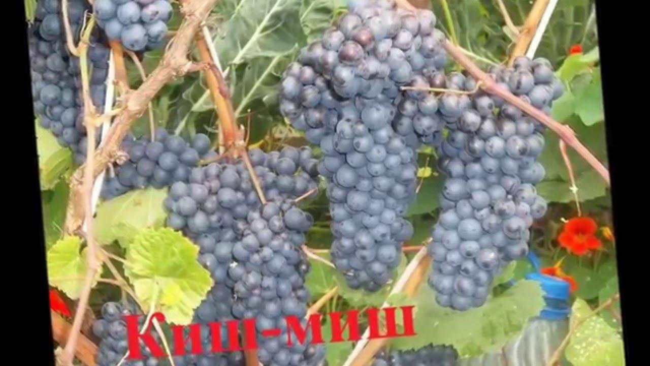 Какие сорта винограда лучше сажать на алтае 7