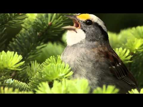Бах Иоганн Себастьян - Сюита №2 (Скерцо) - для флейты