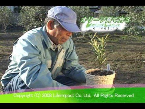 オリーブ島のマドンナ 農家の方からオリーブの育て方を教わる3(苗木鉢編)