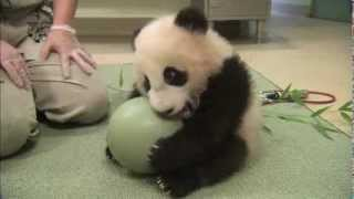 Cute baby panda playing ball