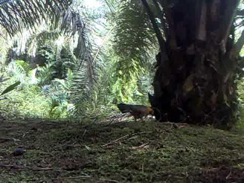 Ayam Hutan Pikat Betina 5 video