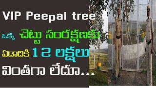 vip telugu | vip peepal tree | vip peepal tree in madhyapradesh | vip tree madhyapradesh in telugu