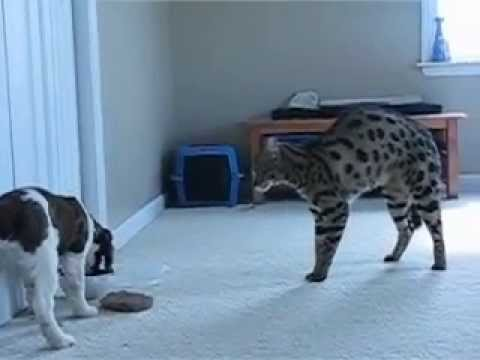 F1 Savannah Cat meets Puppy - www.F1SavannahCats.com