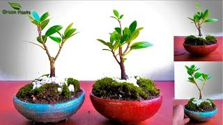 How to Start Bonsai from Nursery Plant | Creating Bonsai from Nursery Stock |//GREEN PLANTS
