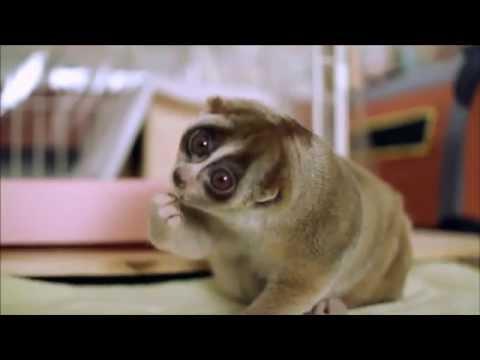 Всем хорошего дня! :) Лори - самое милое животное в мире) лемур, лори, смешные животные, милое видео