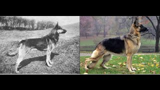 Watch the evolution  of dogs. You
