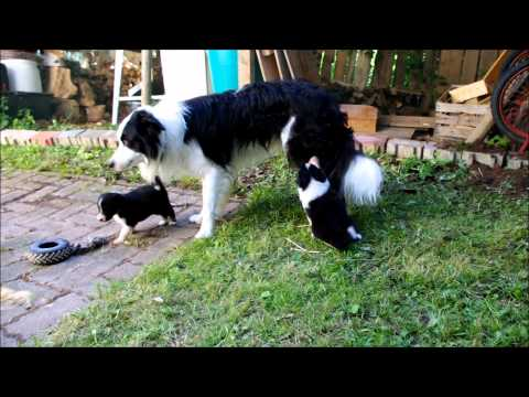 Cutest Border Collie Puppies in the World