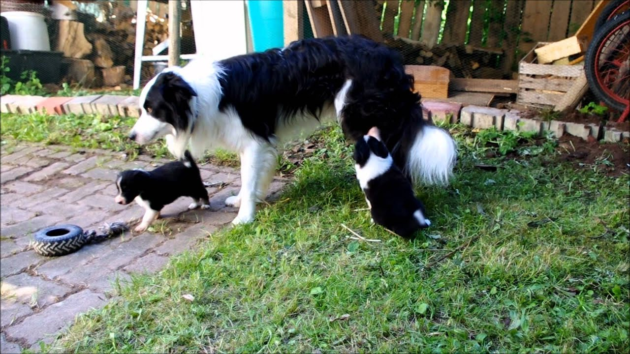 Cutest Border Collie Puppies In The World Youtube
