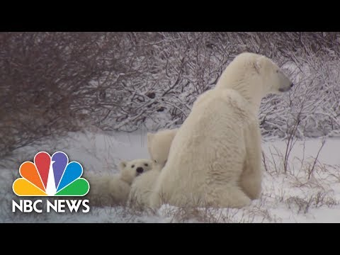 Polar Bears Are Losing Hunting Ground | Archives | NBC News