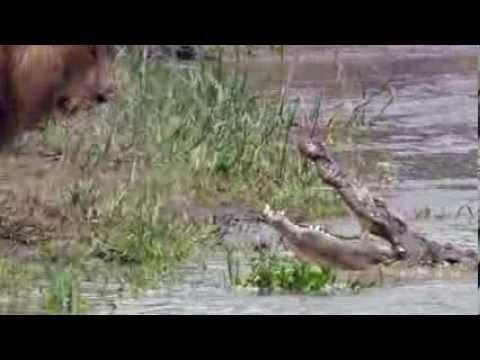 Львы против Крокодилов