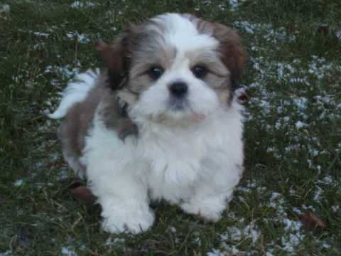 Pictures Of Coton Mix Dogs