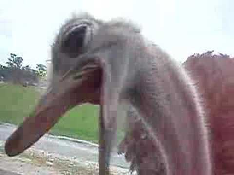 crazy ostrich trying to get in our car!! Video