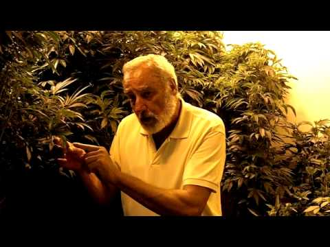 """The Bugman"" - Bug Control for Medical Marijuana Plants (Green Lacewing Eggs)"
