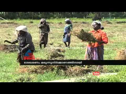 Medicinal plant(കുറുന്തോട്ടി)collect tribals in Wayanad :Chuttuvattom News