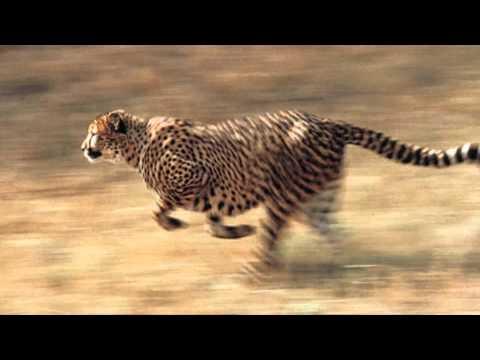 LA VELOCIDAD DEL GUEPARDO. El animal terrestre más rápido del mundo