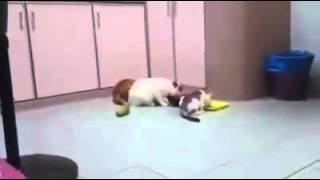 Very Funny Cat scary attack by Cucumber