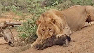 Male Lion Attacks and Kills Hyena Cub
