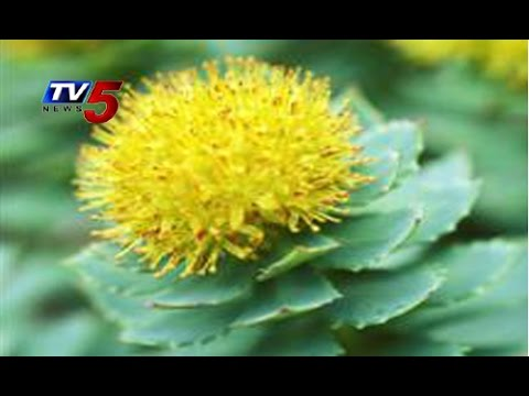 Multifunctional Wonder Herb 'Rhodiola' @ Himalaya's High Peaks : TV5 News