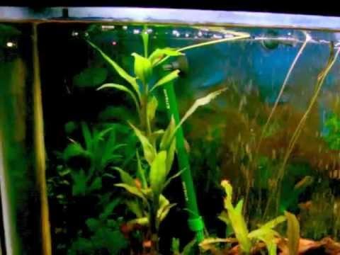Lucky Bamboo Aquarium Lucky Bamboo Underwater