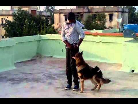 Dog Training, Maharashtra,india video