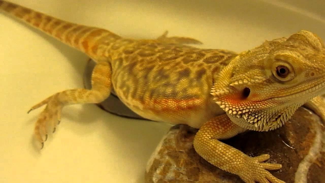 Can bearded dragons do tricks - Answers.com