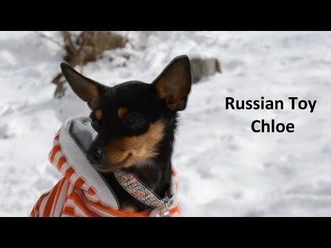 Russian toy Chloe | 1 year