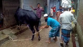 Angry Cow qurbani 2017 . Dhaka Bangladesh.