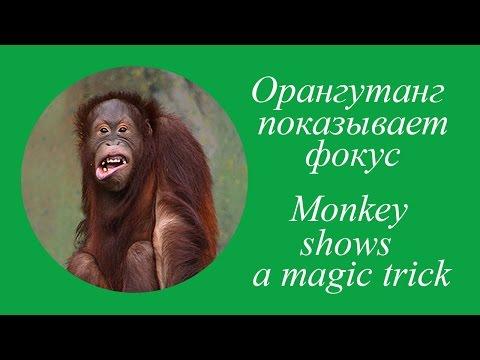 Орангутанг показывает фокус. Monkey shows a magic trick. Смех!