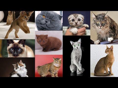 ТОП-10 популярных пород кошек