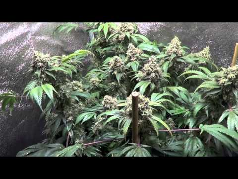 Master Kush Week 9 Flower & DNA Genetics LA Confidential Veg Update