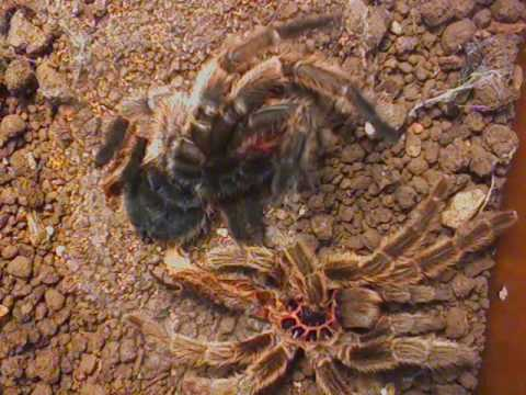 Chilean Rose-Hair Tarantula flips over after molting - YouTube