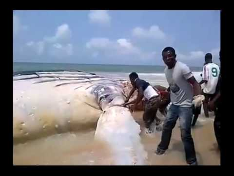 Nigeria News - Stranded shark being hacked for meat in Nigeria.